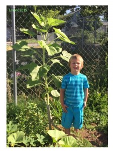 Giant Sunflower!