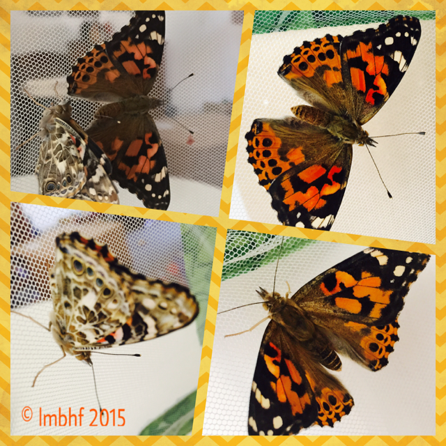 7. Painted Lady Butterflies